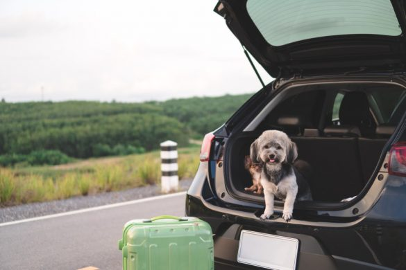 dog sitting in the boot of a car